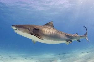Tiger_shark(2)